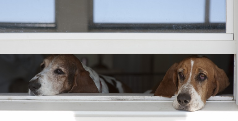 Dogs look out open window with no window treatment in Indianapolis.